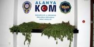 Alanya#039;nın orta yerine kenevir tarlası kurmuşlar