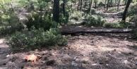 Kestiği ağacın altında kaldı öldü