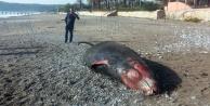 Kıyıya 5 metrelik dev balina vurdu