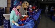 İhracatçıda buruk domates sevinci