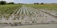 Şiddetli yağmur pamuk tarlalarını göle çevirdi