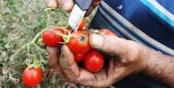 'Tuta yüzünden binlerce ton domates çöpe gitti