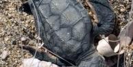 Alanya sahilinde misinalara dolanan yavru carettanın acı sonu