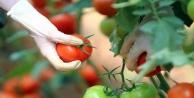 Güzlük domates hasadı başladı