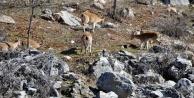Yaban keçileri halkla iç içe yaşıyor