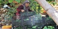 Türkiye'nin avokadosu Alanya'dan yetişiyor