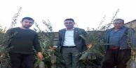 Zeytin fidanlarına Alanyalı üreticiden yoğun ilgi