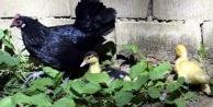 Alanya#039;da çalınan ördek ve tavuğunu bulana ödül verecek