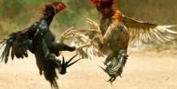 Alanya#039;da horoz dövüşüne jandarma baskını