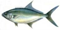 Balıkçı 1 metre uzunluğunda Akya yakaladı