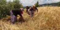 Türkiye#039;nin ilk buğday hasadı Gazipaşa#039;dan
