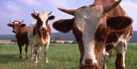 Büyükbaş hayvan fiyatları son 10 yılda yüzde 374 arttı