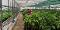 Alanya#039;da 8 çeşit avokado fidanı yetiştiriyor