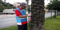 Alanya#039;da kırmızı palmiye böceğiyle mücadele çalışması başladı