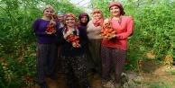 Güz dönemi domates hasadı başladı
