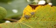 Kahverengi Kokarca bitkilere zarar veriyor