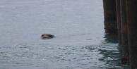 Hareketsiz kalan Akdeniz foku için adeta alarm verildi