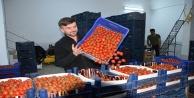 Antalya#039;da seralarda sebze üretimi hız kesmeden devam ediyor