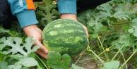 Gazipaşa#039;da Organik sera karpuzunda hasat heyecanı