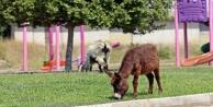 Çimleri uzayan çocuk parkları eşek ve keçilere kaldı