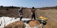 Antalya#039;da 'Altın Susama nöbetli hasat