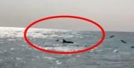 Alanya#039;da yunuslar kıyıya geldi!
