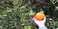 Kumlucada kış ortasında meyve veren ağaçlar vatandaşı şaşırttı