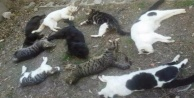 Kedileri öldüren belli oldu