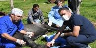 Ayaklarına tel dolanan yaralı at operasyonla iyileştirildi