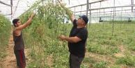 Serada 50 dereceyi gören çiftçi domates sezonunu erken kapattı