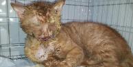 Canilerin asitle yaktığı kedi hayata tutundu!
