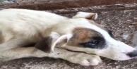 Çuvala koyulup ölüme terk edilen o köpek kurtarılamadı