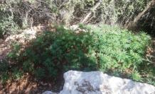 Ormanlık alana ektiği kenevirleri sularken yakalandı