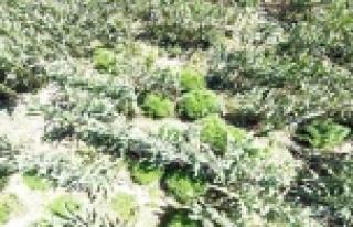 Mısır tarlasından 230 kök Hint keneviri çıktı