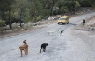 Yaylalara bırakılan köpekler ölüm kalım mücadelesi...