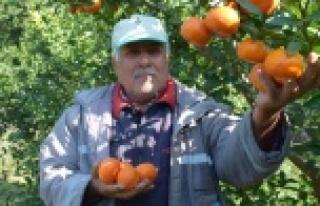 Antalya'da yaz ayında dalından mandalina üretimi