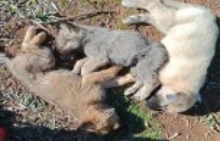 12 sokak köpeği zehirlenerek öldürüldü iddiası
