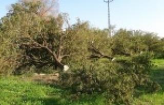 Kesilen narenciye ağaçları başında gözyaşı...