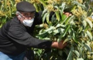 Alanya'daki çiftçilere budama eğitimi verildi