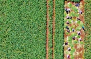 Doğal antibiyotik olan sarımsağın hasadı başladı
