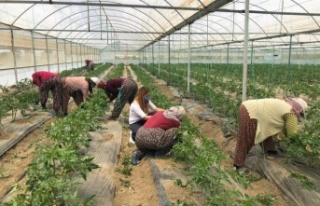 Antalya'nın yaylalarında örtü altı üretim...