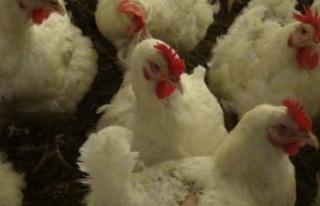 Çin'de ilk kez bir insana H10N3 kuş gribi tanısı...