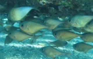 Kızıldeniz'den gelen üçgen balıklarının...