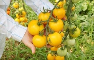 Sel ve su baskınına dayanıklı domates çeşidi...