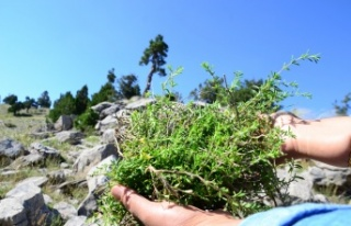 Toros Dağları'nda yetişiyor! Her derde deva
