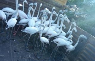 Yasadışı yollardan ele geçirdikleri flamingoların...