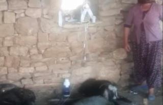 6 gün alevlerin arasında mahsur kalan keçi, kurtarıldıktan...