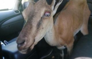 Yaralı yaban keçisi, tedavisi için hayvanat bahçesine...