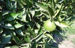 Akdeniz meyve sineğinin vurduğu portakallara sıkı...