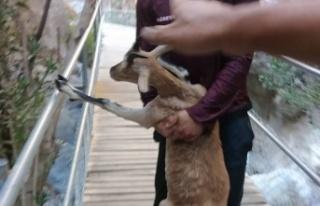 Alanya'da kurtarmaya çalıştığı dağ keçisi...